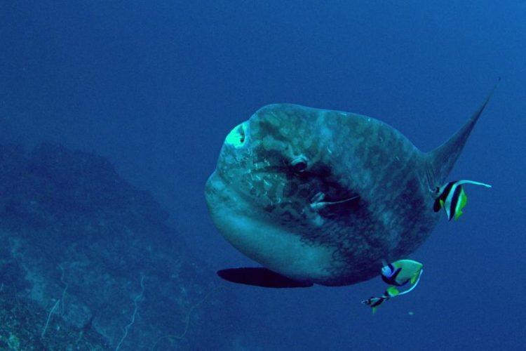Рыба Мола-мола на Бали