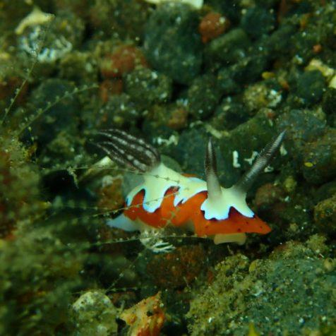 Голожаберник на Бали