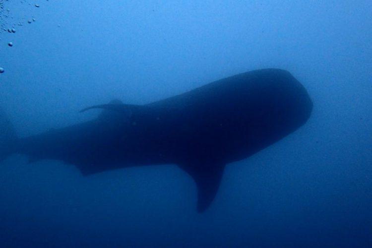 Китовая акула на Бали